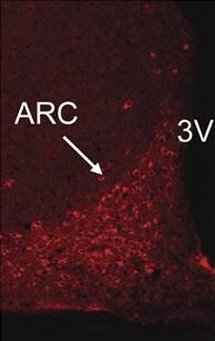 Immunohistochemistry (PFA perfusion fixed frozen sections) - Anti-ATG7 antibody (ab53255)
