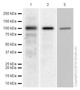 Western blot - Anti-MAPK6/ERK-3 antibody [EP1720Y] (ab53277)