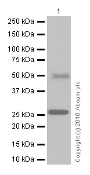 Western blot - Anti-Sonic Hedgehog antibody [EP1190Y] (ab53281)