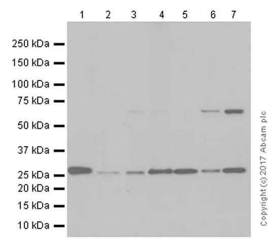 Western blot - Anti-GOSR1/GS28 antibody [EP1768Y] (ab53288)
