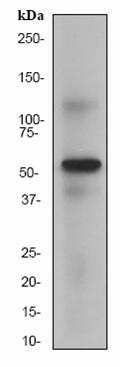 Western blot - Anti-HSF4 antibody [EP1719Y] (ab53291)
