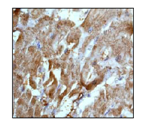 Immunohistochemistry (Formalin/PFA-fixed paraffin-embedded sections) - Anti-Lactate Dehydrogenase B/LDH-B antibody [EP1565Y] (ab53292)