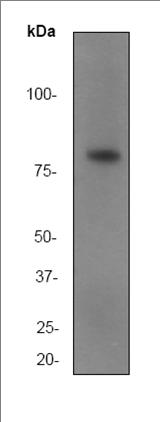 Western blot - Anti-SMURF 2 antibody [EP629Y3] (ab53316)