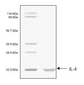 SDS-PAGE - Recombinant Human IL-4 protein (ab53342)