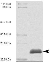 SDS-PAGE - Recombinant Human PDGF AA protein (ab53372)