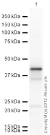 Western blot - Recombinant Human PON2 protein (ab53379)