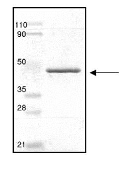 SDS-PAGE - Recombinant Human PON2 protein (ab53379)