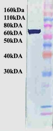 Western blot - Anti-Hsp70 antibody [BB70] (ab53496)