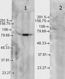 Western blot - Anti-Hsp90 beta antibody [H90-10] (ab53497)