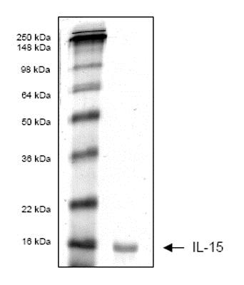 SDS-PAGE - Recombinant Human IL-15 protein (ab53505)