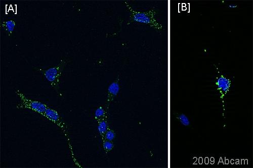 Immunocytochemistry/ Immunofluorescence - Anti-A2B5 antibody [105] (ab53521)