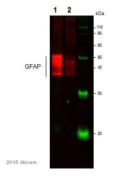 免疫印迹-抗GFAP抗体(ab53554)