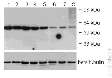 Western blot - Anti-p55/DCAF1 antibody (ab53616)
