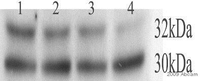 Western blot - Anti-Neurotrophin 3 antibody (ab53685)