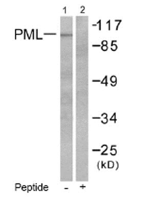 Western blot - Anti-PML Protein antibody - N-terminal (ab53773)