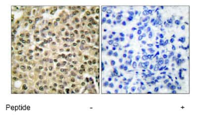 Immunohistochemistry (Formalin/PFA-fixed paraffin-embedded sections) - Anti-Ran antibody (ab53775)