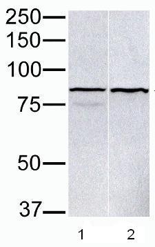 Western blot - Anti-PARP9 antibody (ab53796)