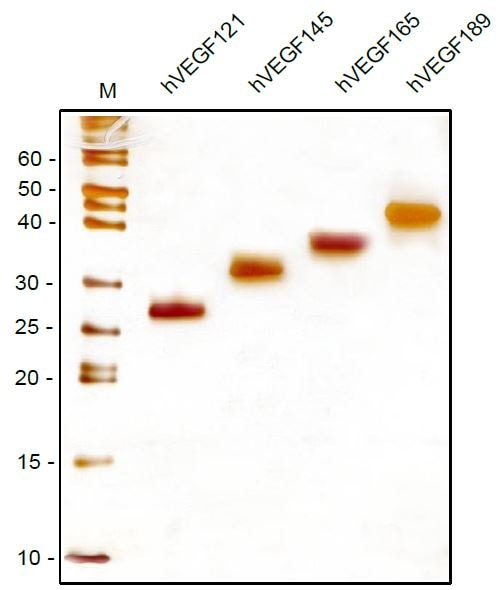 SDS-PAGE - Recombinant human VEGFA protein (ab53824)