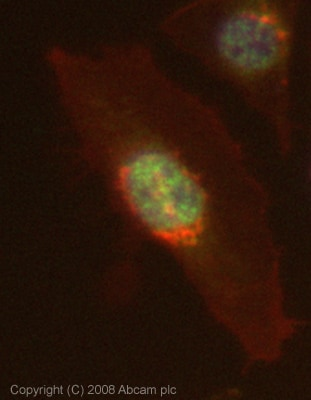 Immunocytochemistry/ Immunofluorescence - Anti-HOXB13 antibody [mAbcam53931] (ab53931)