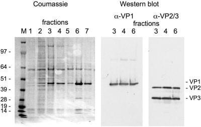 Western blot - Anti-SV40 VP2 + VP3 antibody (ab53983)