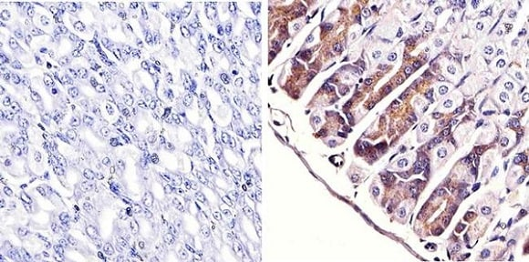Immunohistochemistry (Formalin/PFA-fixed paraffin-embedded sections) - Anti-ERK1 + ERK2 antibody [ERK-7D8] (ab54230)