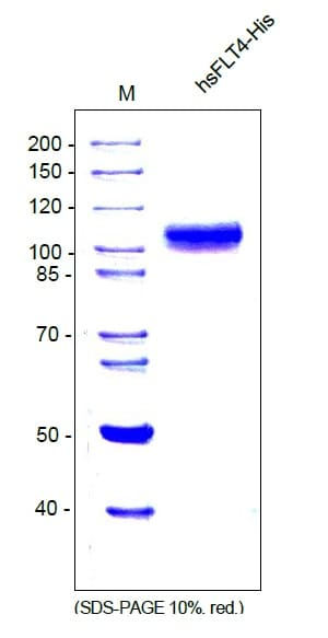 SDS-PAGE - Recombinant Human VEGF Receptor 3 protein (ab54260)