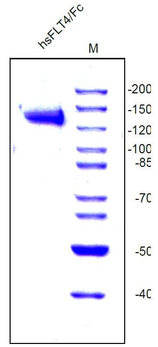 SDS-PAGE - Recombinant human VEGF Receptor 3 protein (Fc Chimera) (ab54261)