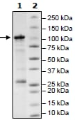 SDS-PAGE - Recombinant human SIRT1 protein (ab54334)