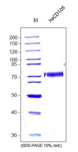SDS-PAGE - Recombinant human CD105 protein (ab54338)
