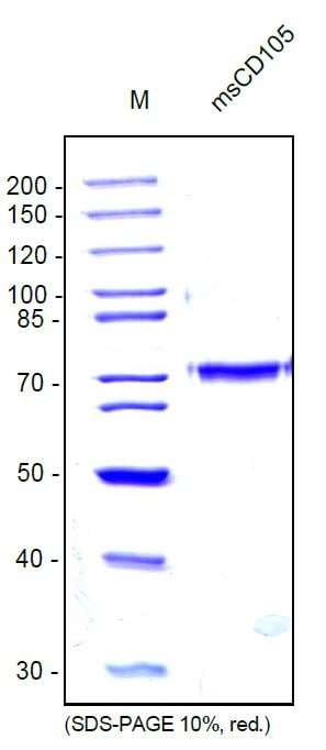 SDS-PAGE - Recombinant mouse CD105 protein (ab54339)