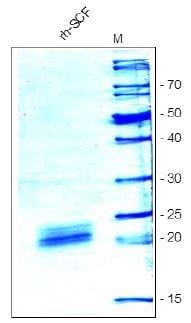 SDS-PAGE - Recombinant human SCF protein (ab54340)