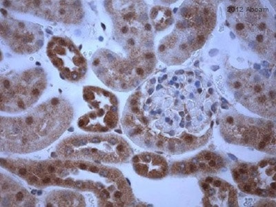 Immunohistochemistry (Formalin/PFA-fixed paraffin-embedded sections) - Anti-PGC1 alpha antibody (ab54481)