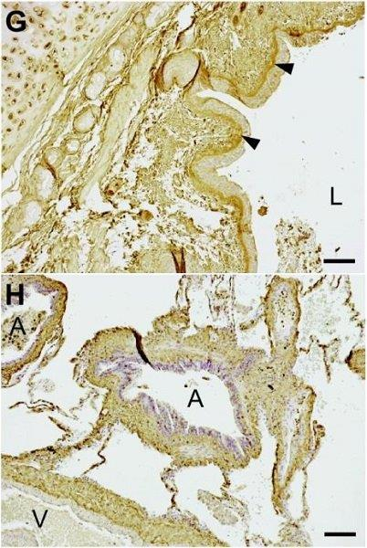 Immunohistochemistry (Formalin/PFA-fixed paraffin-embedded sections) - Anti-Decorin antibody (ab54728)