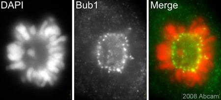 Immunocytochemistry/ Immunofluorescence - Anti-Bub1 antibody (ab54893)