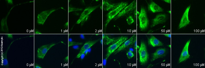 Immunocytochemistry/ Immunofluorescence - Anti-GABA B Receptor 1 antibody (ab55051)