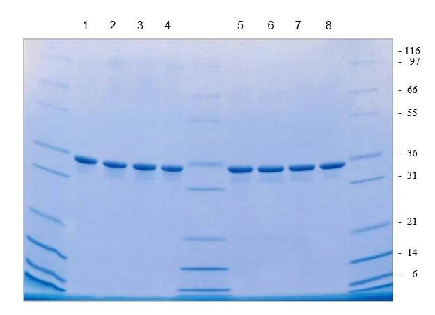 SDS-PAGE - Recombinant Human Apolipoprotein E (ab55210)
