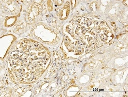 Immunohistochemistry (Formalin/PFA-fixed paraffin-embedded sections) - Anti-non-muscle Myosin IIA antibody (ab55456)