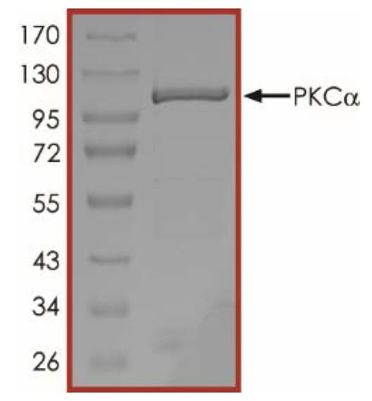 SDS-PAGE - Recombinant human PKC alpha protein (ab55672)