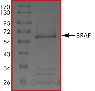 SDS-PAGE - Recombinant human BRAF protein (ab55690)