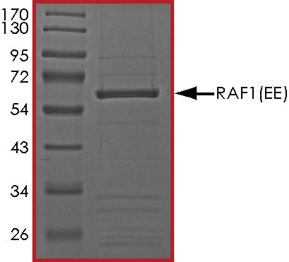 SDS-PAGE - Recombinant human Raf1 (mutated Y341E + Y341E) protein (ab55721)