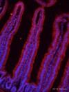 Immunohistochemistry (Frozen sections) - Anti-DMT1 antibody [4C6] (ab55735)
