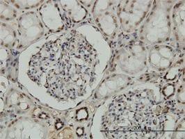 Immunohistochemistry (Formalin/PFA-fixed paraffin-embedded sections) - Anti-NRF1 antibody (ab55744)