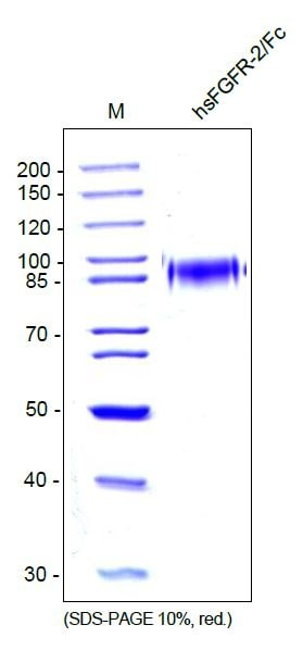 SDS-PAGE - Recombinant human FGFR2 protein (Fc Chimera) (ab55759)