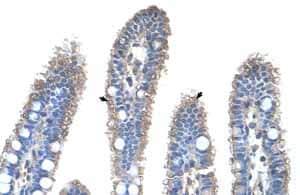 Immunohistochemistry (Formalin/PFA-fixed paraffin-embedded sections) - Anti-Ornithine Carbamoyltransferase antibody (ab55914)