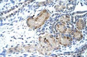 Immunohistochemistry (Formalin/PFA-fixed paraffin-embedded sections) - Anti-GTF2IRD1 antibody (ab55975)