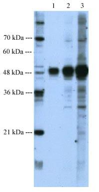 Western blot - Anti-BMP7 antibody (ab56023)