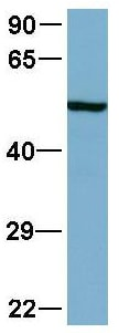 Western blot - Anti-AP2 gamma antibody (ab56030)