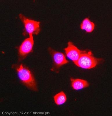 Immunocytochemistry/ Immunofluorescence - Anti-BRD7 antibody (ab56036)