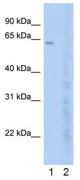 Western blot - Anti-BRD7 antibody (ab56036)