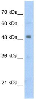 Western blot - Anti-Pbx3 antibody (ab56239)